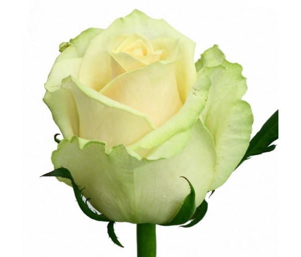 Роза Мондиаль 1шт.