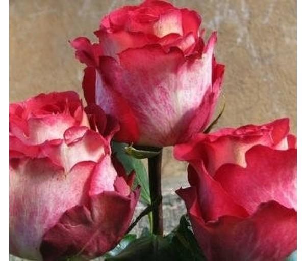 Роза Игуаза 1шт.